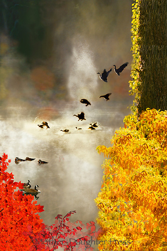 Geese landing at sunrise on a misty lake in fall with mallard ducks