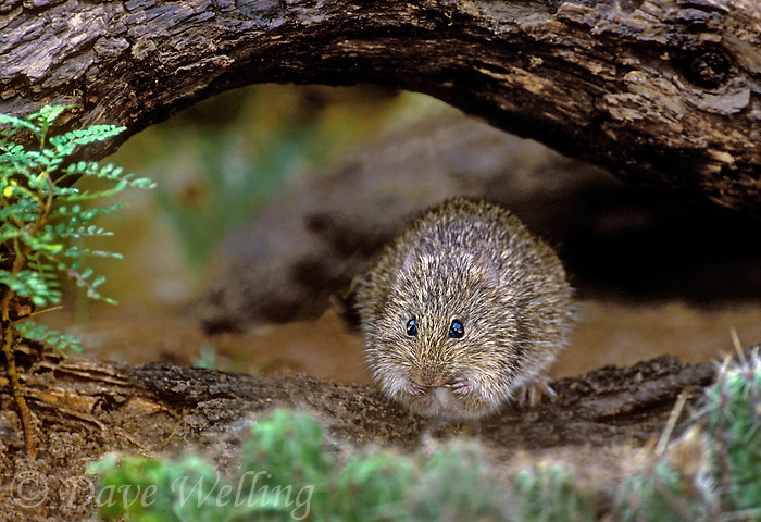 674060003 a wild hispid cotton rat sigmodon hispidus feeding while perched on a small mesquite log in the rio grande valley of south texas