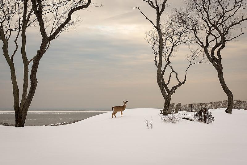 &quot;Nemesis&quot;<br /> Deer in the Snow<br /> Riverhead, Long Island