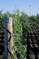Niagara Grapevine - Merlot Grapes