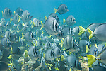 Santa Fe Island, Galapagos, Ecuador; a polarized school of Razor Surgeonfish (Prionurus laticlavius) swim over the rocky reef , Copyright © Matthew Meier, matthewmeierphoto.com All Rights Reserved
