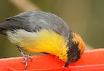 Rufous-naped brush finch, Atlapetes latinuchus spodionotus, drinking from a feeder at Yanacocha Reserve, Ecuador
