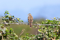 Lark-Sparrow, Teacapan, Mexico