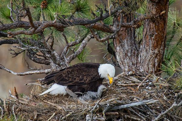 Bald Eagle Nest (Haliaeetus leucocephalus)--adult with several week old eaglet in tall ponderosa pine tree.  Oregon.  April.