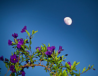 The gibbous moon competes for attention with the  purple and green of a Royal Robe bush.
