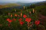 Turk's Cap Lily (Lilium superbum) at Tennent Mountain