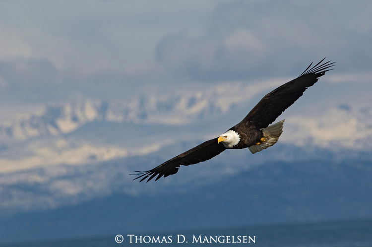 A bald eagle flying in Homer, Alaska.