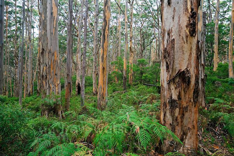 Boranup Karri Forest, near Margaret River in the Leeuwin-Naturaliste National Park, Western Australia, AUSTRALIA.