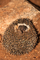 Four-toed Hedgehog (Atelerix albiventris) in a threat display, Samburu Game Reserve, Kenya.
