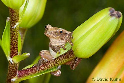 0808-0901  Spring Peeper Frog Climbing on Lily Plant, Pseudacris crucifer (formerly: Hyla crucifer)  © David Kuhn/Dwight Kuhn Photography