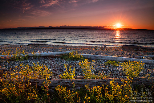 Driftwood and Summer Wildflowers, Richmond Beach, Shoreline, Washington