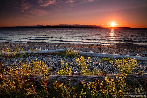 Driftwood and Summer Wildflowers, Richmond Beach, Shoreline, Washington