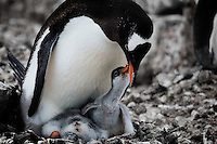 Prospect Point, Antarctica, Jan. 11, 2007 - A Gentoo penguin mother tends to her offspring. Typically the fathers will fish through out the day, while the mothers protect the young. The fathers regurgitate the catch to the mothers, who then do the same for thier young. Antarctica is home to five of the world's 17 different species of penguins. Though climate reports suggest that the continent is not warming substantially as a result of global warming, the ocean around it is. In fact the temperature of the Southern Ocean has risen 11 degrees since the 1950's. This has caused a problem for the cold water species of penguin, such as the Emperor and Adelie. They have had to move further south to survive, while warmer climate species, such as Gentoo and Chinstrap have expanded their sizes. While this would seem good news for the Gentoo and Chinstrap, the warming of the waters has caused larger melting of icebergs than previously expected. The flow of fresh water with the salt water under the icebergs are the breeding ground for krill, the primary food for penguins. The increased number of the colonies along with the decrease in food has caused major problems for all of the species.