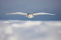 Snowy owl flying low over snow to hunt, Canada