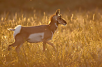 Pronghorn doe at sunset in South Dakota