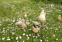 Zwerghuhn im Garten, Henne führt ihre Küken über blütenreiche Wiese, Hühner, glückliche Hühner, freilaufende Hühner, Artgerechte Tierhaltung, Zwerghühner