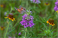 I captured this Texas Wildflower image on my own land! This butterflly was fluttering all over the place. I waited patiently, hoping, and he finally landed in a location where I could adjust and grab a shot of him. He was sitting on purple horsemint with mexican hats on both sides.