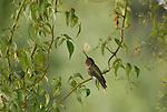 anna's hummingbird in Santa Cruz