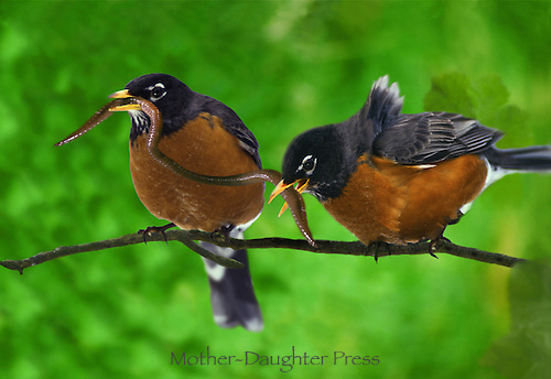 """Two robins, Turdus migratorius,  perched on a branch with one worm to """"share"""" - early birds still have to struggle"""