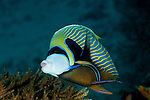 Emperor Angelfish (Pomacanthus imperator) getting cleaned by a cleaner wrasse. Misool, Raja Ampat, West Papua, Indonesia,  January 2010
