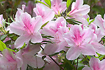 Spring azalea, detail of blooms, Mercer Arboretum, Houston, Texas.