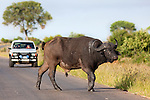 Cape buffalo, Syncerus caffer, watched by tourists, Kruger national park, South Africa