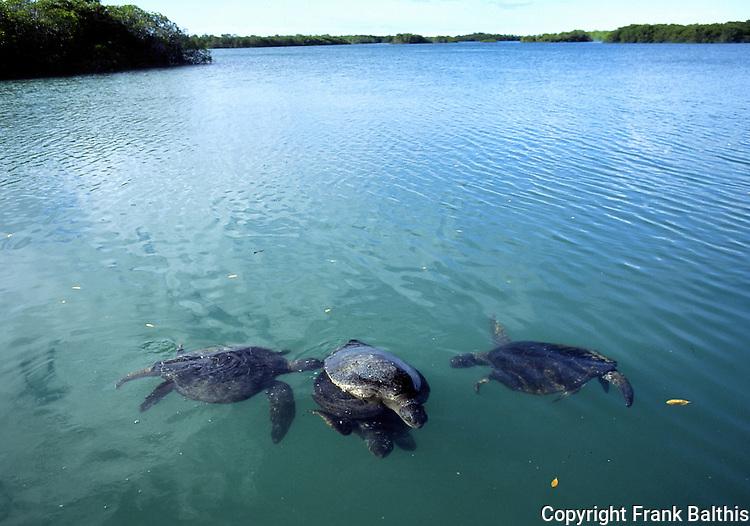 Green Sea Turtles Matin Black Turtle Cove Santa Cruz
