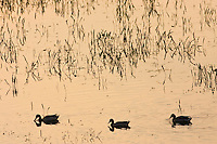 Ducks in flooded meadow, Oxfordshire, The Cotswolds, United Kingdom