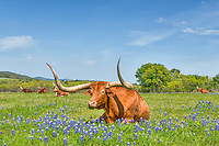 This longhorn was laying down in a field of bluebonnets and they all seem to be just sunning themselves.  We were able to capture him with his eyes open only for a moment. It was nap time for the longhorns on this day.