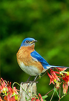 Bluebird, Sialia sialis, on fencepost, among Columbine flowers,  Aquilegia formosa, in summer with brown caterpillar in mouth, in summer w
