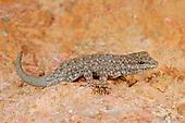 Semaphore Rock Gecko (Pristurus rupestris), mountains of Yemen