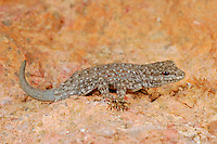 Semaphore Rock Gecko (Pristurus rupestris), mountains of Yemen