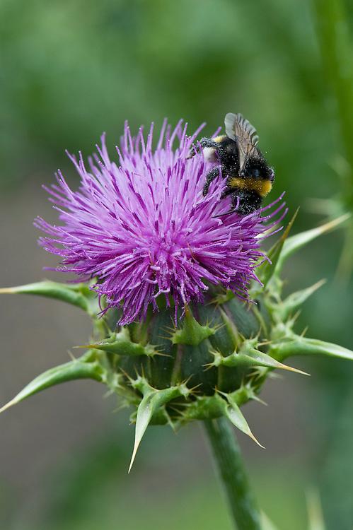 Bee on blessed Mary's thistle (Silybum marianum 'Milk Thistle'), mid June.