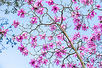 Magnolia sargentiana, (Sargent's magnolia) flowering deciduous tree in San Francisco Botanical Garden