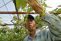 Japan Koshu Wine