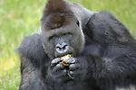 Foto: VidiPhoto<br /> <br /> ARNHEM - Vanwege de hittegolf die ons land vanaf dinsdag in zijn greep houdt, kregen de gorilla&rsquo;s en de goudwanggibbons van Koninklijke Burgers&rsquo; Zoo een welkome ijskoude verfrissing. De dierverzorgers van het Arnhemse dierenpark trakteerden de apen op gezonde ijsjes:  met water ingevroren vruchten, iets dat ze normaal nooit krijgen. Burgers&rsquo; Zoo neemt tijdens de hittegolf wat extra voorzorgsmaatregelen: dieren die gevoelig voor de warmte zijn, worden extra in de gaten gehouden, krijgen extra drinkwater en worden regelmatig op wat verkoeling getrakteerd. Dat kan bij olifanten uit een welkome frisse douche bestaan of een duik in hun waterbasssin en bij de apen op een ijskoude traktatie als verkoeling en tegelijkertijd gedragsverrijking. Bij de aanleg van de verblijven is bovendien reeds gezorgd voor extra schaduwrijke plekken waar dieren zich even terug kunnen trekken. Goudwanggibbons zijn Aziatische apen, die maar in weinig dierentuinen gehouden worden. Ze leven op boomtopniveau in het tropische regenwoud en komen zelden op de grond.