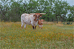 Taken at a friend's ranch in the Texas Hill Country, this image of Texas Longhorns in a field of wildflowers is iconic Texas.