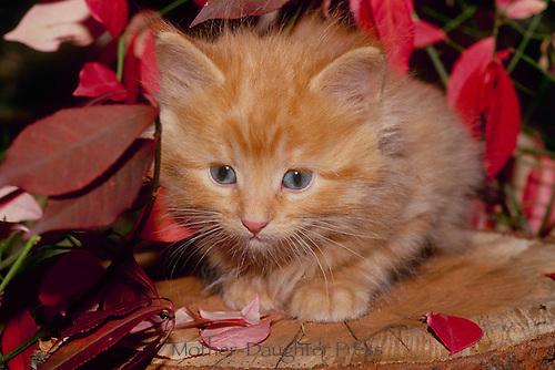 Gold tabby kitten on a stump near a fall burning bush (Euonymous) leaves, Midwest USA