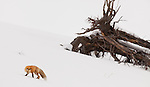 A single red fox is seen hunting for prey in the snow near a fallen tree in Yellowstone National Park.