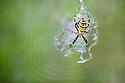 Wasp spider (Argiope bruennichi) female on web in alpine meadow. Nordtirol, Tirol, Austrian Alps, Austria. August.