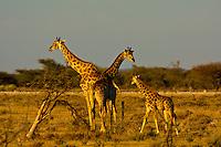 Giraffes, Etosha National Park, Namibia