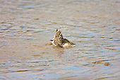 Ruff (Philomachus pugnax) Besides bathing and drinking in the esturary the Juvinile Ruff also feeds, as a stop over on Autumn migration.