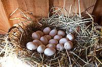 Hühnereier, Hühnerei, Eier, ei im Nest im Hühnerstall, Zwerghuhn, Zwerghühner