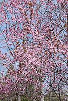 Prunus cerasifera Purple leaf sand plum in spring bloom