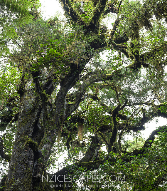 Old and large, magnificant native matai tree, West Coast, UNESCO World Heritage Area, South Westland, New Zealand, NZ