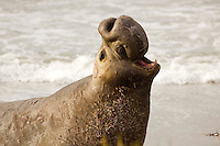 A male elephant seal on the coast of Piedras Blancas, California.