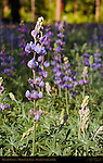 Brewer's Lupines, Lupinus breweri, Mirror Lake Trail in Spring, Yosemite National Park