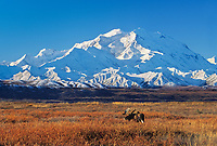 20, 3020+ ft. Mt. McKinley (locally called Denali) Bull moose in autumn tundra grasses, Denali National Park, Alaska