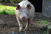 Tom, now a full grown pig, hangs in his outdoor pen in Edgewood, Washington on April 4, 2015.