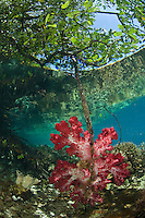 Raja Ampat is among the few areas in the world where colorful soft corals,  Dendronepthya sp., grow within inches of the surface, sometimes attached  mangrove roots. Healthy mangrove forests are a prime feature of Raja Ampat, and are key to healthy marine habitat, functioning as nurseries to many species. Raja Ampat, West Papua, Irian Jaya, Indonesia, Pacific Ocean
